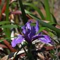 Iris on Boquiano Trail.- Baquiano Trail