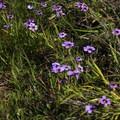 Blue eyed grass (Sisyrinchium).- Baquiano Trail