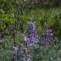 Lupine on the Baquiano Trail.- Baquiano Trail
