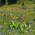 Arrowleaf balsamroot and silver lupine.- Lyle Cherry Orchard
