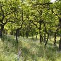 Scrub oak- Lyle Cherry Orchard