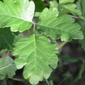 Be cautious of the poison oak along the trail.- Lyle Cherry Orchard