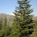 Pacific silver fir (Abies amabilis).- 25 of the West's Most Iconic Trees