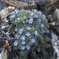 Alpine forget-me-not.- Alpine + Sawtooth Lakes, Iron Creek Drainage
