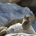 Pika!- Alpine + Sawtooth Lakes, Iron Creek Drainage