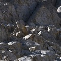 Mountain goats populate the cliffs and meadows of the Alpine Creek Cirques.- Alpine Creek Canyon
