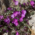 Rock Fringe (Epilobium angustifolium) decorates rock crevices in the alpine basins.- Alpine Creek Canyon