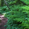 Fern foliage on the Terrell Marsh Trail.- Birch Bay State Park