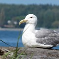 A lazy seagull (Laridae).- Birch Bay State Park