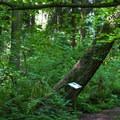 Red alder (Alnus rubra).- Terrell Marsh Trail