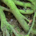 Roots from an old western hemlock (Tsuga heterophylla) stump.- Terrell Marsh Trail