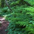 Lady ferns (Athyrium filix-femina) near the end of the loop.- Terrell Marsh Trail