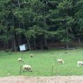 Sheep along the Springwater Corridor. - Springwater Corridor