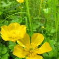 Creeping buttercup (Ranunculus repens).- Bulson Creek Falls