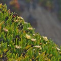 Ice plant (Carpobrotus edulis).- Mitchell's Cove Beach