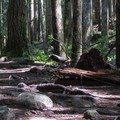 Large fir trees early on the trail.- Heybrook Lookout
