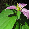 A blooming trailside trillium (Trillium ovatum).- Heybrook Lookout