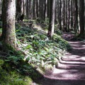 Winding through second-growth western hemlock (Tsuga heterophylla) to the top of the ridge.- Heybrook Lookout