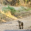A curious bobcat (Lynx rufus) inspects his tracks along the Creamery Meadow Trail.- Headlands to Creamery Meadow Loop