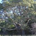 Massive coast live oak along the Creamery Meadow Trail.- Headlands to Creamery Meadow Loop