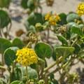 Sand Verbena (Abronia latifolia).- Seabright Beach