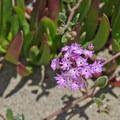 Statice (Limonium).- Seabright Beach