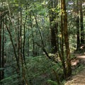 East Ridge Trail in Armstrong Redwoods State Natural Reserve.- Armstrong Redwoods State Natural Reserve