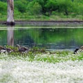 Parent and fledgling Canada geese.- Tualatin River National Wildlife Refuge