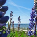 Lupine (Lupinus polyphyllus) on the North Beach.- Discovery Park + Fort Lawton Historic Area