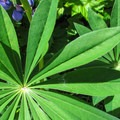 Large-leave lupine (Lupinus polyphyllus).- Discovery Park + Fort Lawton Historic Area