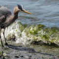 A ruffled great blue heron (Ardea herodias).- Discovery Park + Fort Lawton Historic Area