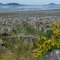 Scotch broom (Cytisus scoparius) near the bay at low tide.- Bay View State Park