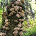 Oyster mushrooms on the Fern Canyon Trail.- Fern Canyon Trail