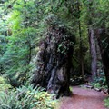 Fern Canyon Trail.- Fern Canyon Trail