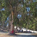 A picnic area in the eucalyptus grove in Palm Beach State Park.- Palm Beach State Park