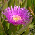 Sea Fig (Carpobrotus chilensis).- Palm Beach State Park