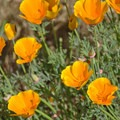 California poppy (Eschscholzia californica).- Sunset State Beach