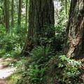 Huge fir trees along the loop trail.- Camano Island State Park Loop Trails
