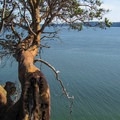 A madrone tree (Arbutus menziesii) over the Saratoga Passage.- Camano Island State Park Loop Trails