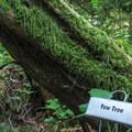 Western yew (Taxus brevifolia).- Al Emerson Nature Trail