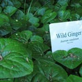 Wild Ginger (Asarum caudatum).- Hovander Homestead Park