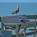 Oppportunists waiting for the catch.- Seacliff State Beach