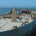 The SS Palo Alto is popular with local birds.- Seacliff State Beach