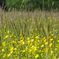 A field of creeping buttercups (Ranunculus repens). - River Dike Trail