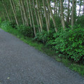 Young black cottonwoods (Populus trichocarpa).- River Dike Trail