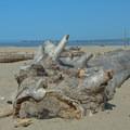 Driftwood at Platforms Beach.- Platforms Beach