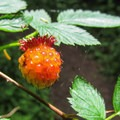 Salmonberry (Rubus spectabilis).- Cross Island Trail