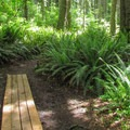 Sword ferns (Polystichum munitum).- Cross Island Trail