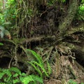 A fallen tree's exposed roots.- Cross Island Trail