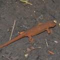 Rough-skinned newt.- Alsea Falls Recreation Area
